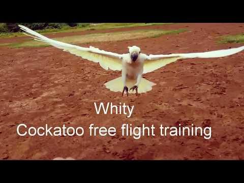 Melatih Kakatua Free Fly. Training of Free Flight Cockatoo