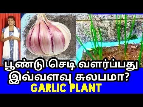 பூண்டு செடி வளர்ப்பது எப்படி / How to grow Garlic plant tamil