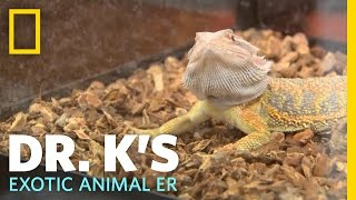 Humongosaur the Bearded Dragon | Dr. K's Exotic Animal ER