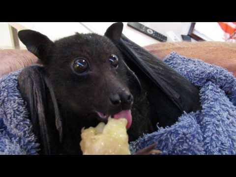 Humphrey the bat eats a banana