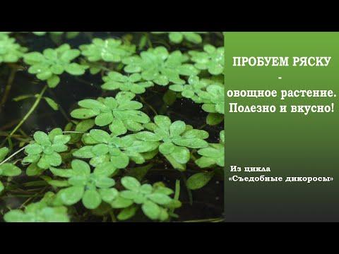 Пробуем ряску - овощное растение. Вкусно и полезно!