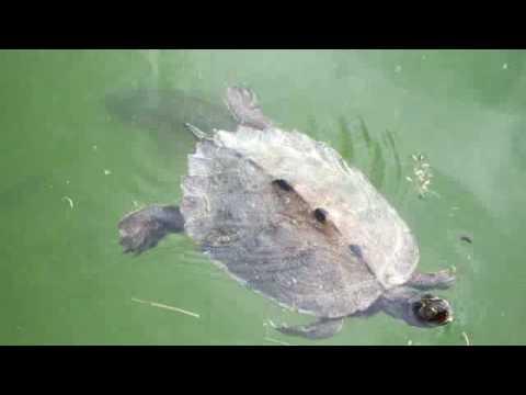 Friendly Italian Turtle