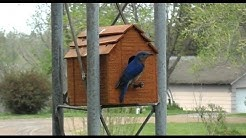 Bluebirds Make Their Home in the Back Yard