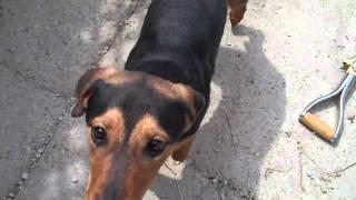 Meet Tulip A Doberman Pinscher Currently Available For Adoption At Petango.com! 4/14/2011 2:35:04 Pm