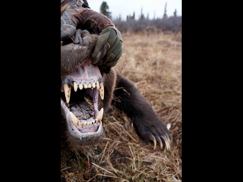 Yukon Late Season Grizzly Hunt With Widrig Outfitters 2010