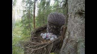 Great Grey Owl family idyll 2014