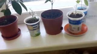 Как растут лимоны на подоконнике. Выращивание комнатных лимонов дома. Часть 1(Выращивание плодоносящих лимонов в домашних условиях на подоконнике и комнате., 2016-12-14T18:22:23.000Z)