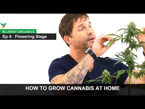 Ep 4 Flowering Stage Instructions Craft Cannabis Home Cannabis247news