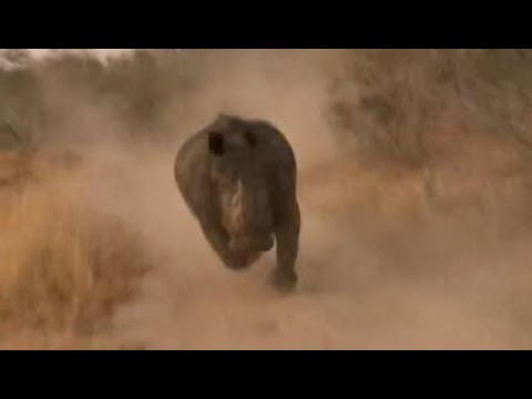 Viral video: Tourists have narrow escape as charging white rhino chases vehicle on safari