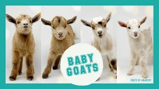LIVE: Baby Goats! | Goats of Anarchy
