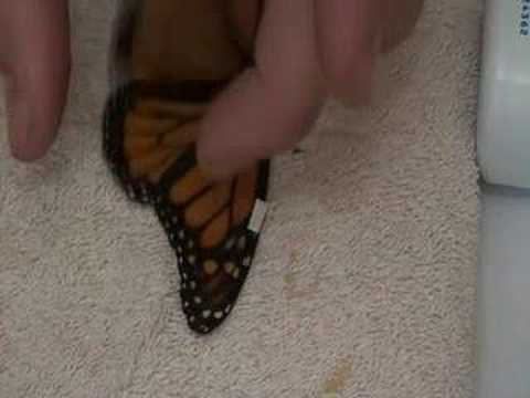 Live Monarch Foundation - How to fix a broken butterfly wing