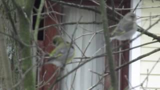 Зеленушка птица