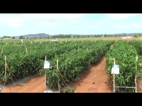 Cae producción de tomatillo