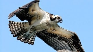HAWK EAGLE - Elang Brontok - Wild Life Animal Planet [HD]