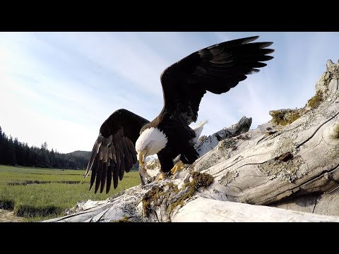 GoPro Awards: Eagle Steals GoPro
