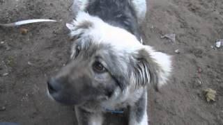 Как дрессировать кавказская овчарка
