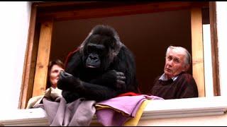 Loire : ils ont adopté un gorille
