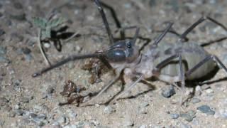 حشرة الشبث تلتهم بعض الحشرات الطائرة 19-8-1437هـ