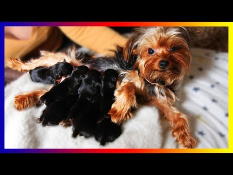 our-pregnant-yorkie-terrier-dog-gives-birth-sucess-to-many-cute-puppies