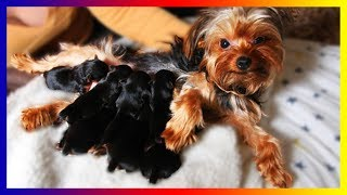 Our Pregnant Yorkie Terrier Dog Gives Birth Sucess To Many Cute Puppies