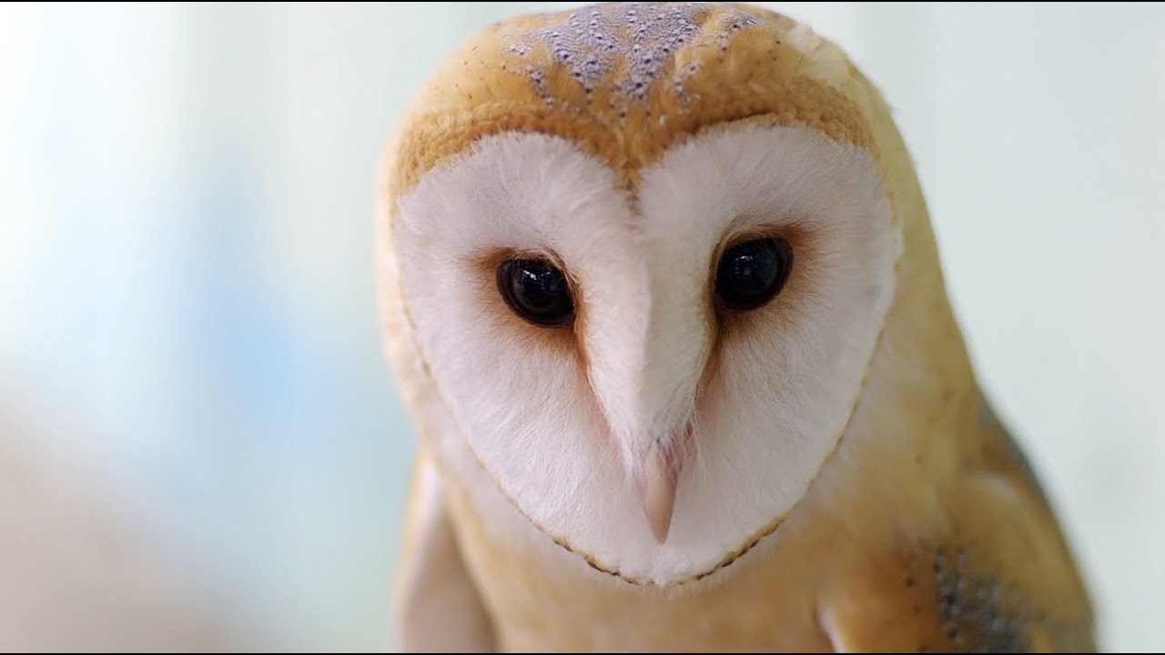 Baby Barn Owl 赤ちゃんメンフクロウ Youtube