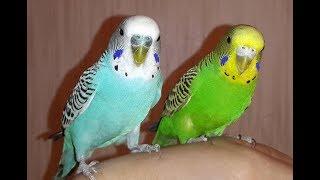 Как определить цвет потомства волнистых попугайчиков