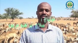 السودان / الخوي.. أكبر سوق وأفضل محجر لأجود أنواع سلالات الضأن في العالم