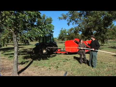 Pecan Varieties and Harvest