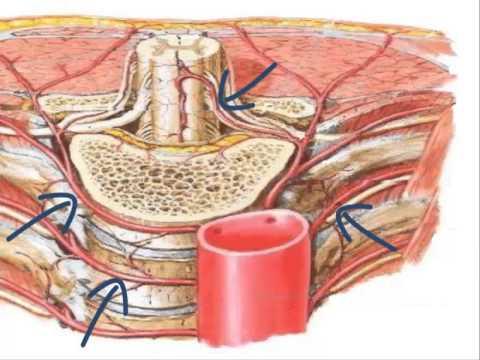 Anatomía de las arterias del cuerpo humano - YouTube