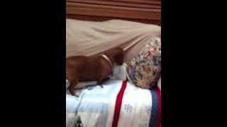 Sophie buries treat in sofa