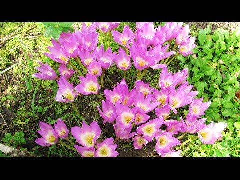 Сажаем луковицы, и через 10 дней цветы Безвременники!!