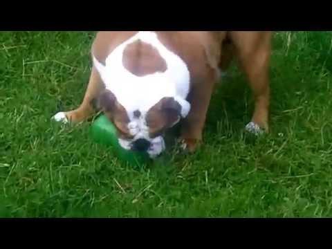 English Bull Dog Stan & Peppa Bichon Frise.