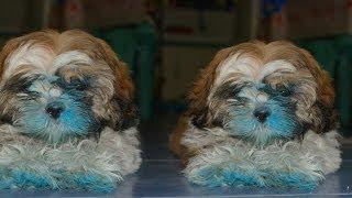 Shih Tzu Dog - Lexie After Taking A Bath.