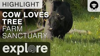 Cow Hugs Tree - Farm Sanctuary - Live Cam Highlight