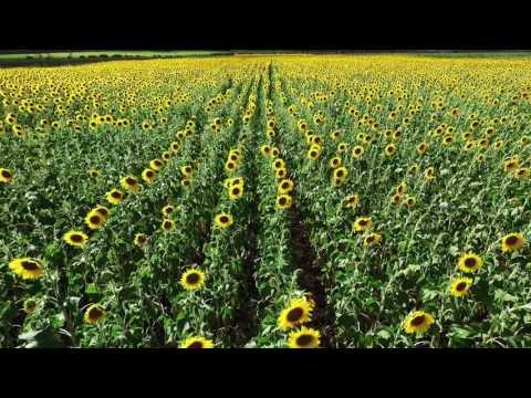 More Maui Sunflowers...