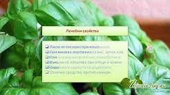 Босилек (билка) - лечебно действие, чай и кулинарни свойства