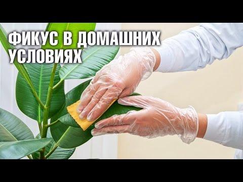 Фикус в домашних условиях: уход полив спрей для листьев