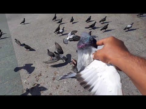 Yabani Güvercin Arasında Kaçak Yakaladım. ( Mavi )