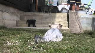 Yorkshire Terrier Vs. Cat