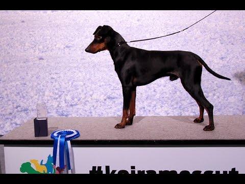 Winner Show @ Helsinki Manchester Terriers PART 1