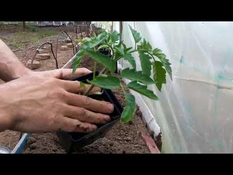 Посадка высокорослых  помидор ФЕНДА и БИГ БИФ | высокорослые | семенис | томаты | фенда | клоз | биф | биг