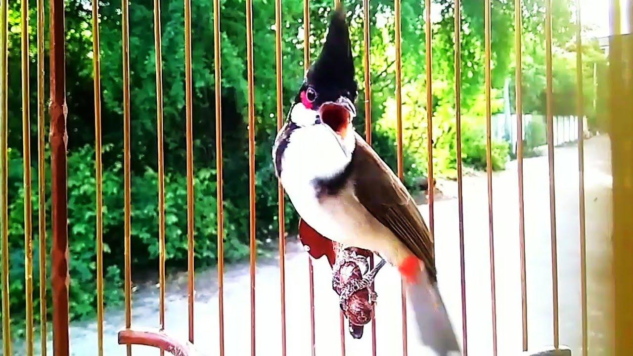 """นกกรงหัวจุก รวม 7 คลิป """"เจ้ามารวย"""" ริก ริก ริก แบบมันสะใจ Chao mao """"Maruay"""""""