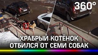 Котёнок VS 7 собак храбрый котейка психанул и отбился от нападения своры собак в Перми видео