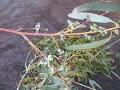 How to Harvest Eucalyptus Seeds