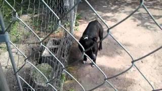 Staffordshire Bull Terrier (hmong Pitbull)