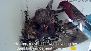 Life goes on with 5 healthy babies: House Finch 🐦 05.08.17