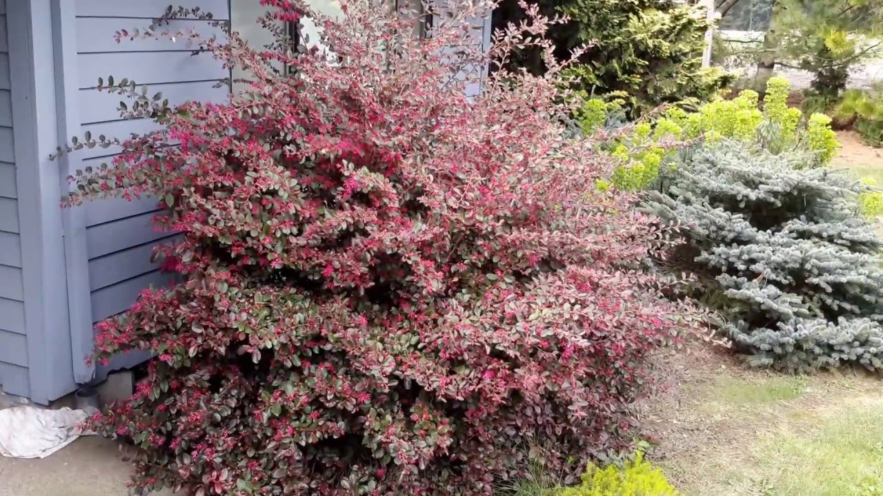 Fringe Flower Loropetalum Variety Youtube
