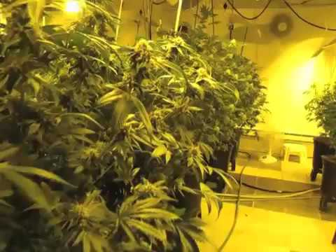 1024 - YGriega (Medical Seeds ): Cultivo Medicinal En Canadá