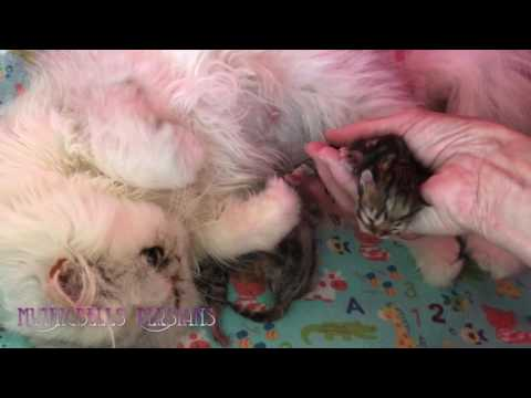 17 06 06 Introducing cute Persian kittens of the L litter