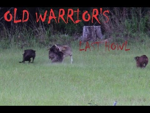 Coyote Hunting-- OLD WARRIOR'S LAST HOWL